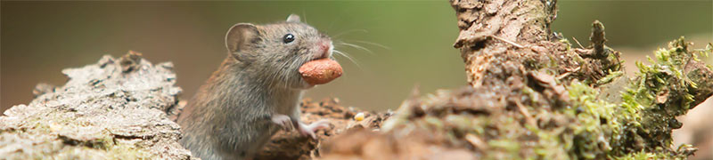 十二生肖——鼠