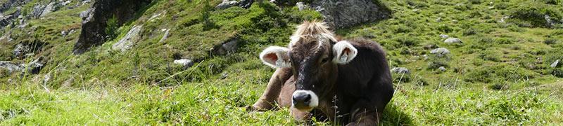 十二生肖——牛