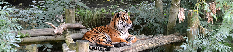 十二生肖——虎